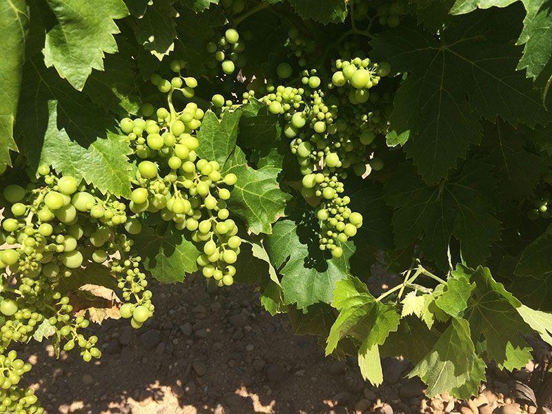 uvas de viñedos de rueda