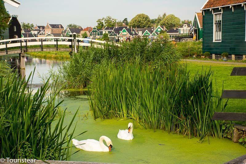 zaanse schans, cisnes, Holanda