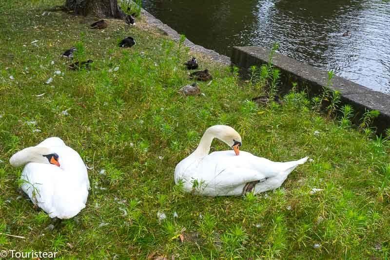 Cisnes de Brujas en el lago del Amor, Bélgica